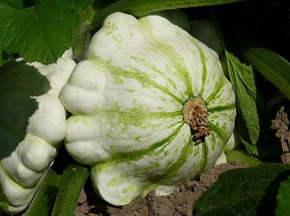 Pattypan squash in summer garden