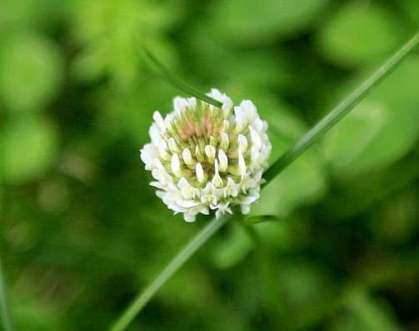 White clover cover crop