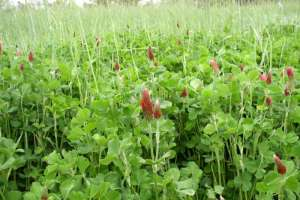 Soil Grower. Crimson clover cover crop