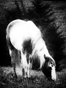 """""""Grazing"""": vertical picture of one black and white horse eats grass in a field."""