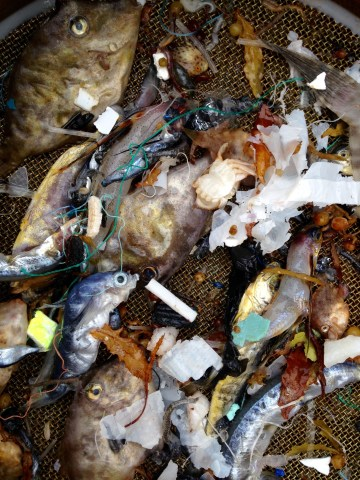 Detail of fish and plastics caught in our night trawl.
