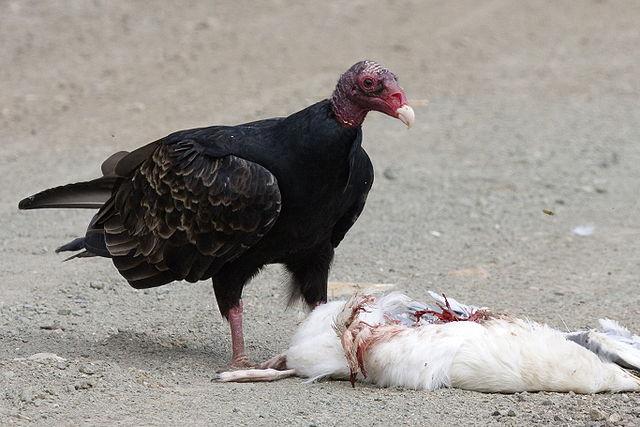640px-Turkey_Vulture_feeding