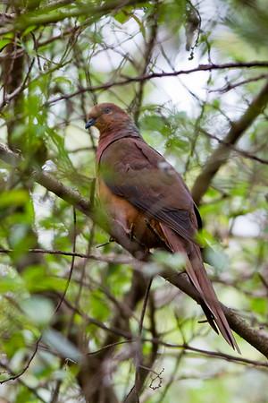 Brown Cuckoo Dove (Macropygia amboinensis) - Birds & Nature - North Maleny & Obi Obi Creek - Sunshine Coast Hinterland, Queensland, Australia; Saturday 21 May 2011. Photos by Des Thureson:  http://disci.smugmug.com