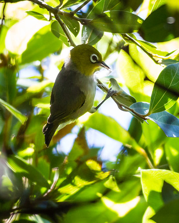 Silvereye (Zosterops lateralis) - Birds & Dragons - Burleigh Heads National Park, Wednesday 4 January 2012, Gold Coast, Queensland, Australia. Photos by Des Thureson: http://disci.smugmug.com