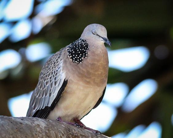 Spotted Turtle Dove (Streptopelia chinensis) - Birds & Dragons - Burleigh Heads National Park, Wednesday 4 January 2012, Gold Coast, Queensland, Australia. Photos by Des Thureson: http://disci.smugmug.com