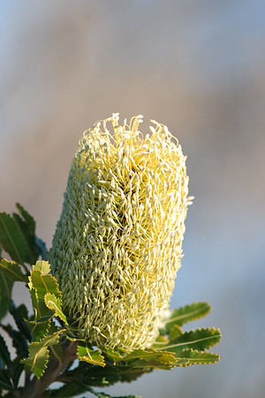 Banksia Flower, Proteaceae family - Early morning walk through Noosa National Park; Noosa Heads, Sunshine Coast, Queensland, Australia; Tuesday 2 November 2010.