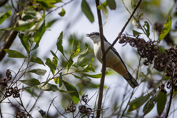 Varied Triller (Lalage leucomela) - Dilkusha Nature Reserve - Birds & Flowers, Maleny, Sunshine Coast Hinterland, Queensland; 8 June 2013. Photos by Des Thureson