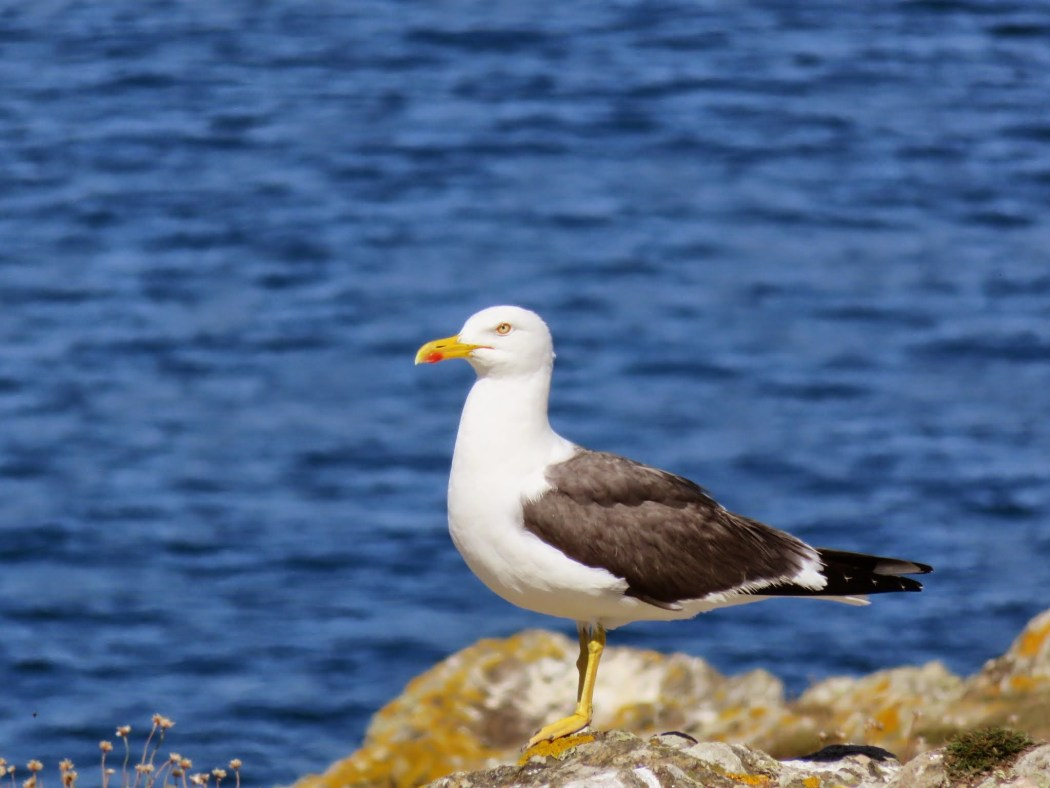 Seagull at Pen Men, island of Groix