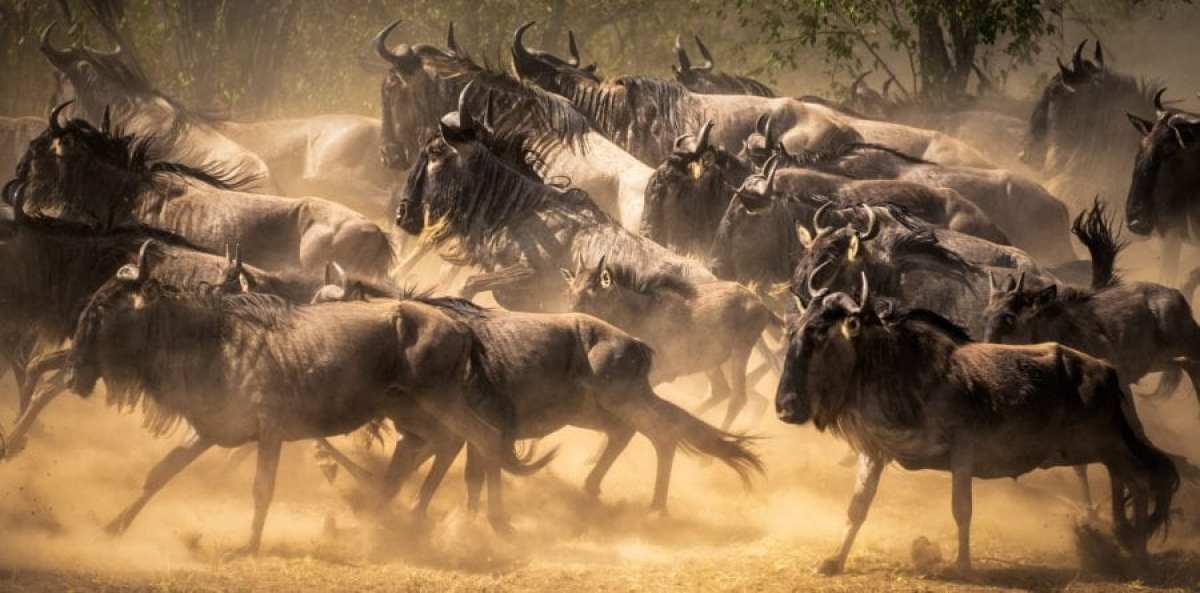 The Great Wildebeest Migration Safaris in Masai Mara