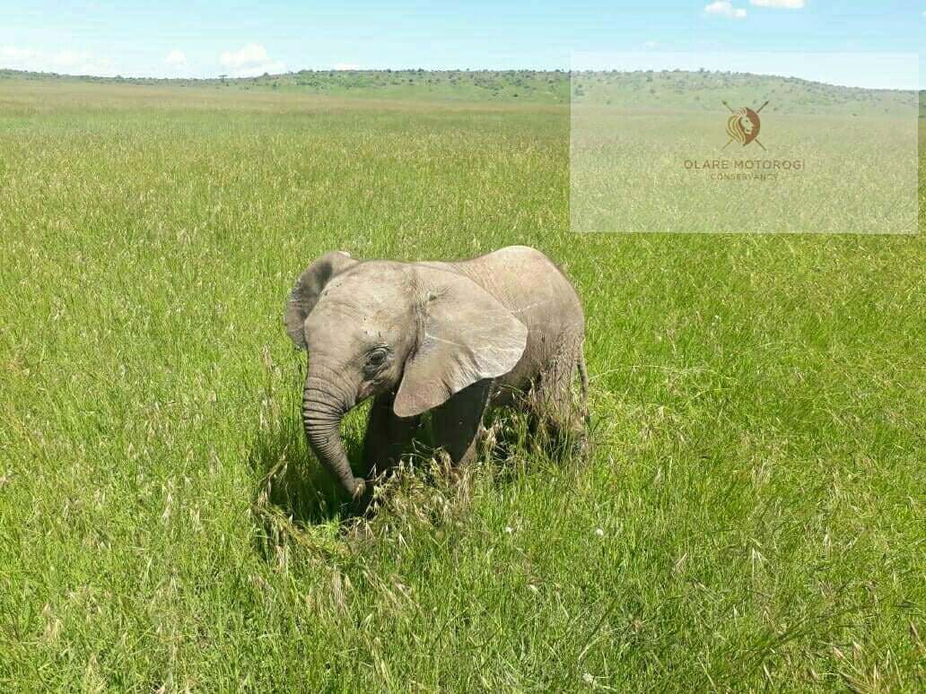 WATCH :- Baby Elephant Chases Rangers Jeep after Treatment
