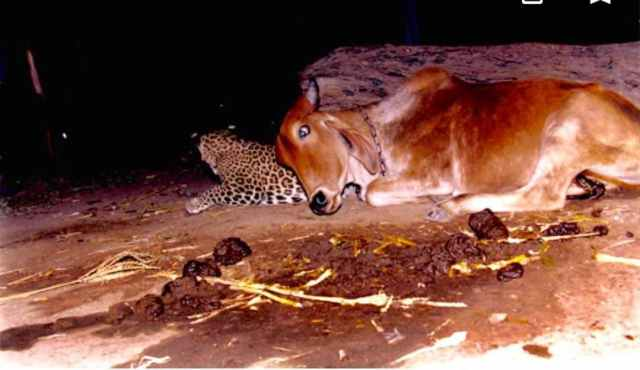 RARE SIGHTINGS PHOTOS:- The Friendly Leopard and Cow