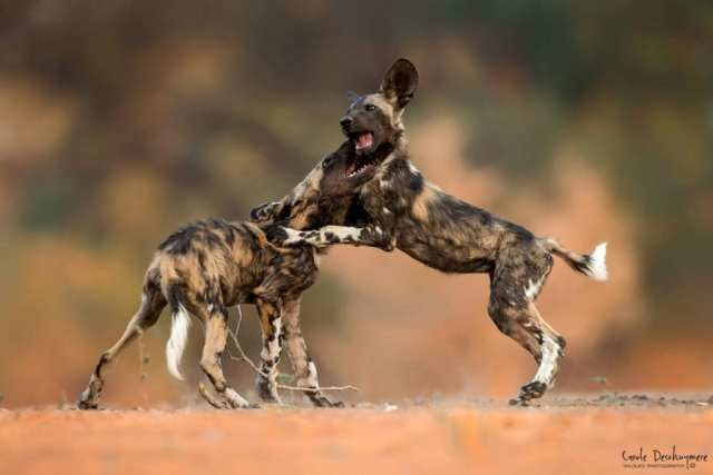 10 best places in Africa to see African wild dogs