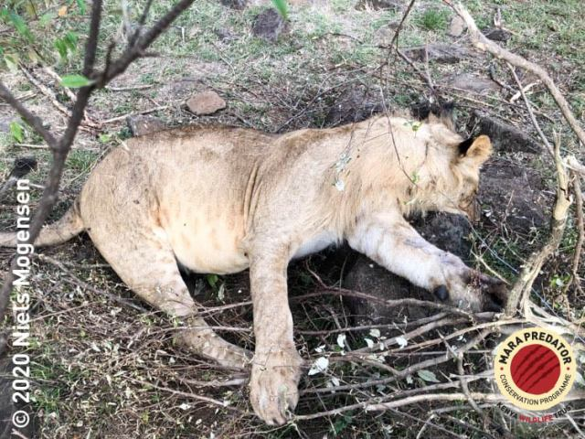 3 Lions 4 hyenas 1 Eland Die Due to Snare Traps