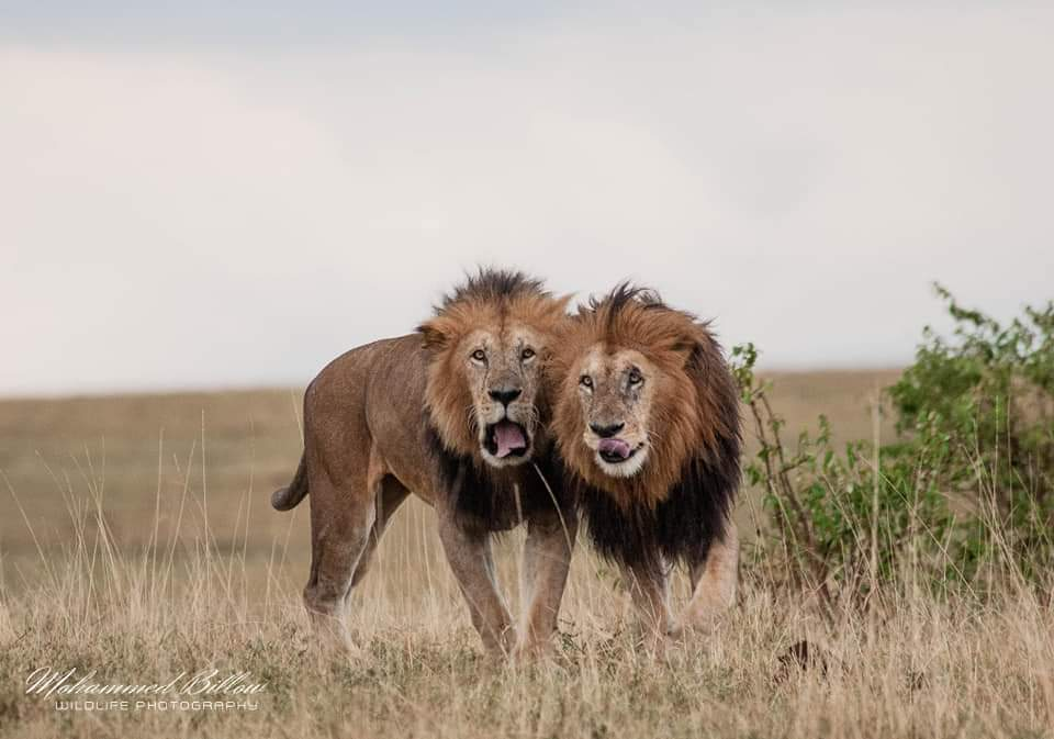 A legendary Lion Who Lived 14-15 Years in the plains of Masai Mara. - Lorpapit