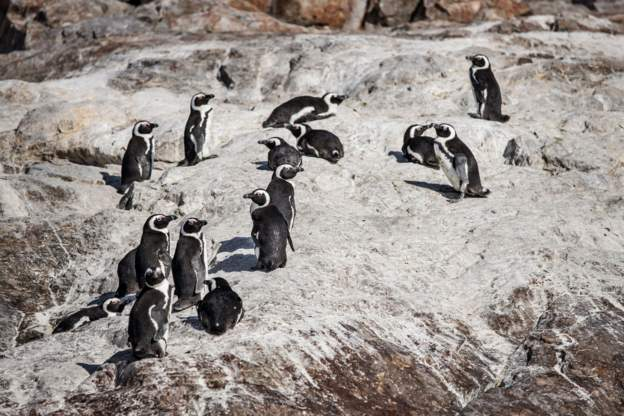 African penguin species have a high risk of extinction, according to IUCN