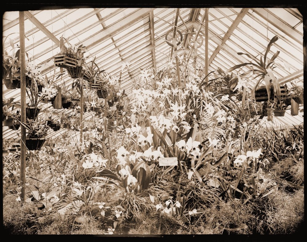 Orchids in Greenhouse 1904