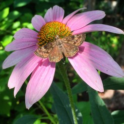Purple coneflower (Echinacea purpurea) Photo by Tyler Prestien