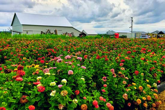 discover central new jersey image of multi-colored zinnias on drake farm