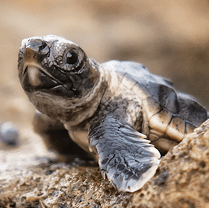 volunteering with costa rica sea turtles