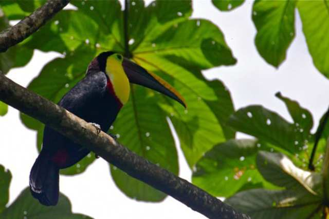 Chestnut Mandibled Toucan in Costa Rica