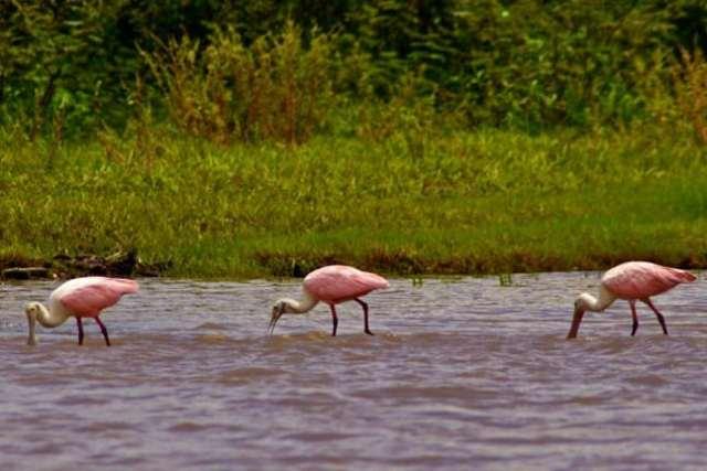 Roseate Spoonbills in Cano Negro Wildlife Refuge