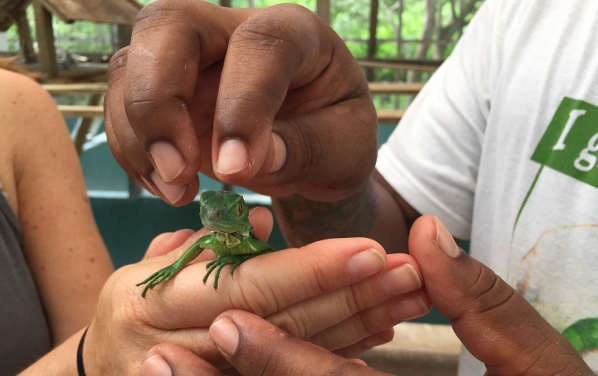 baby iguana in the hand of a tourist in belize