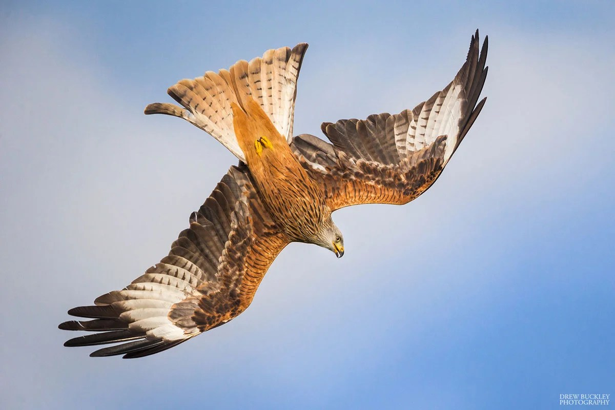 Red Kite in Powys, Mid Wales