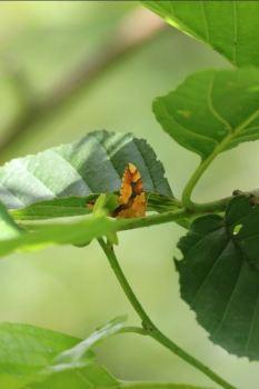 Barred Yellow Moth