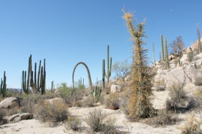 cacti and boojum trees