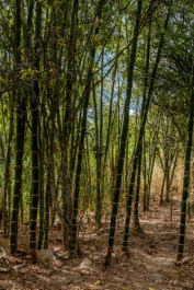 a stand of bamboo on the nature reserve's lower trail besides the river
