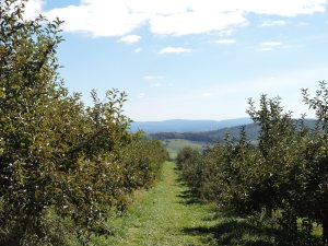 Photo of apple trees and mountains