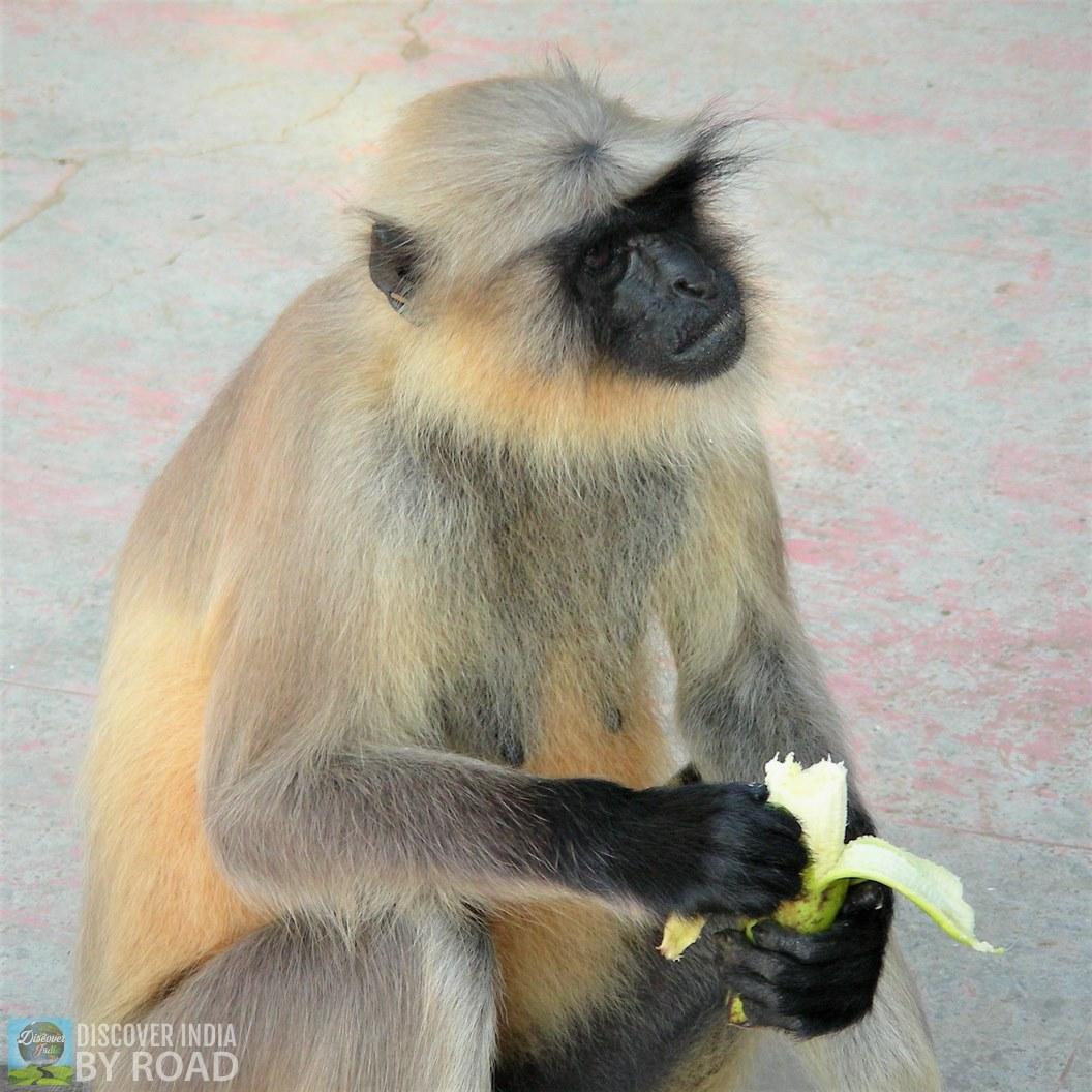 Girnar Langur monkey eating Banana