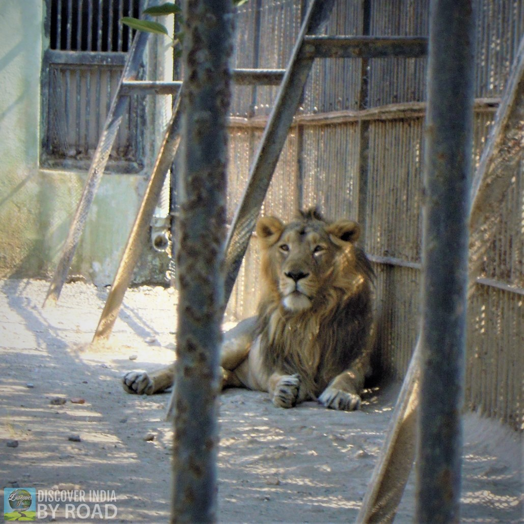 Asiatic Lion inside cage at Sakkarbaug Zoo, Junagadh