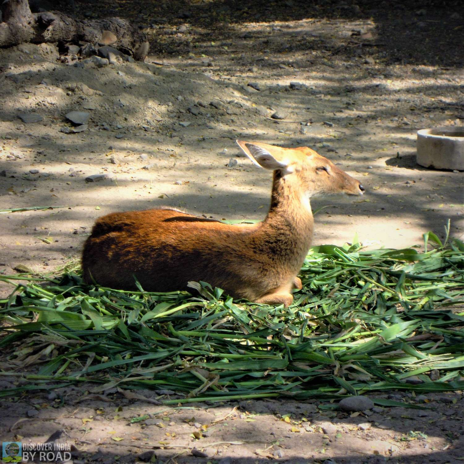 Resting Deer in sunlight at Sakkarbaug Zoo, Junagadh