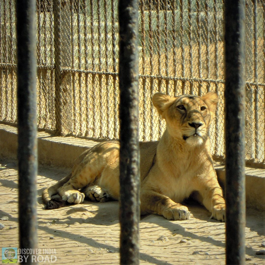 Asiatic Lioness inside cage at Sakkarbaug Zoo, Junagadh