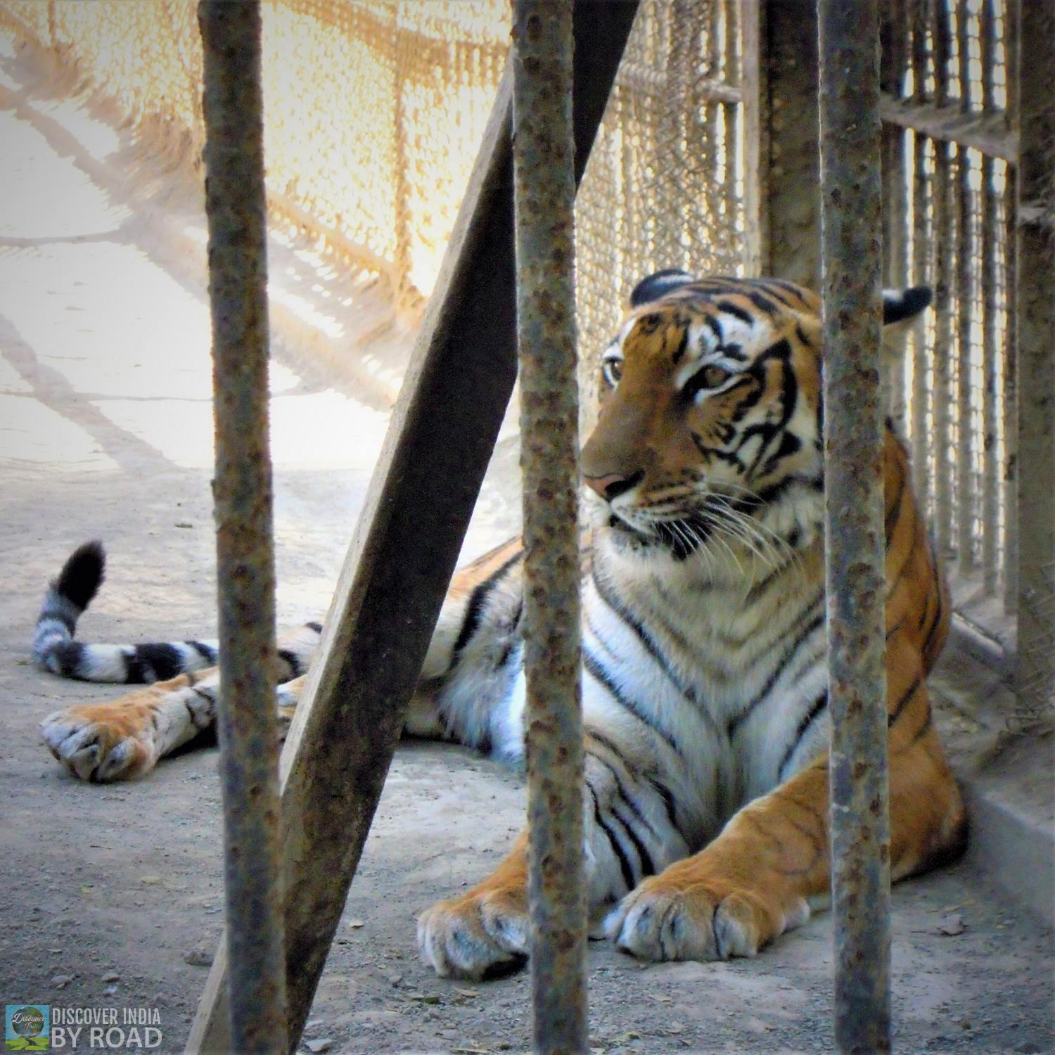 Royal Bengal Tiger Inside Sakkarbaug Zoo, Junagadh