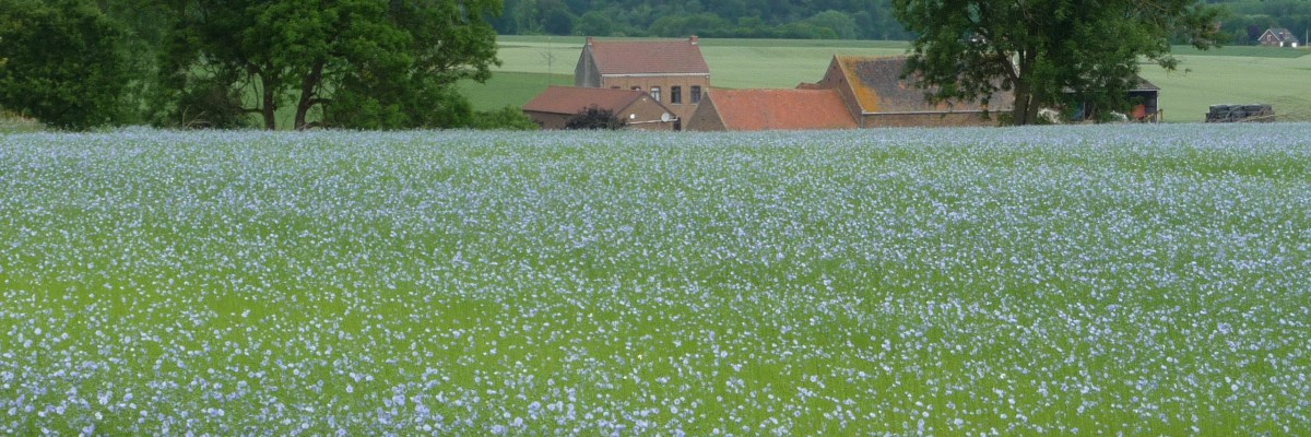 Flax fields of Belgium