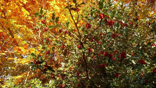 Autumnal holly berries