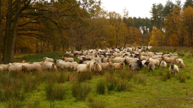 A flock of sheep on Averbode Heath, Belgium