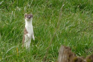 Stoat along the GR 571
