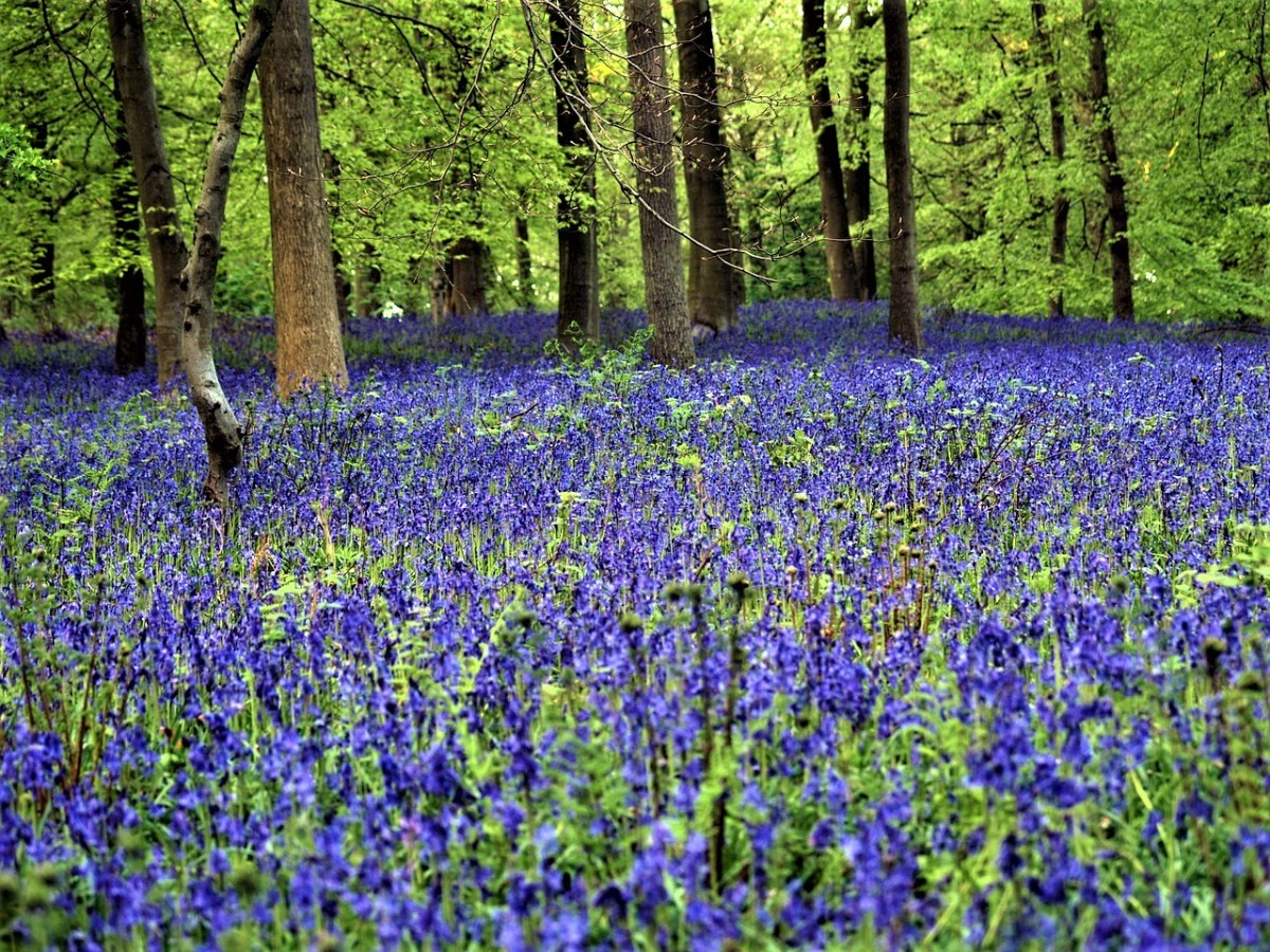 Belgium's Beautiful Blue Forest