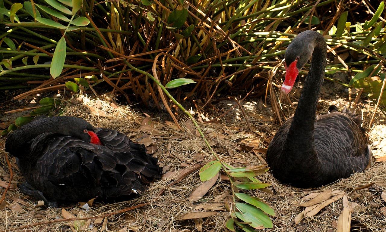 Black swans at Annevoie Gardens Belgium