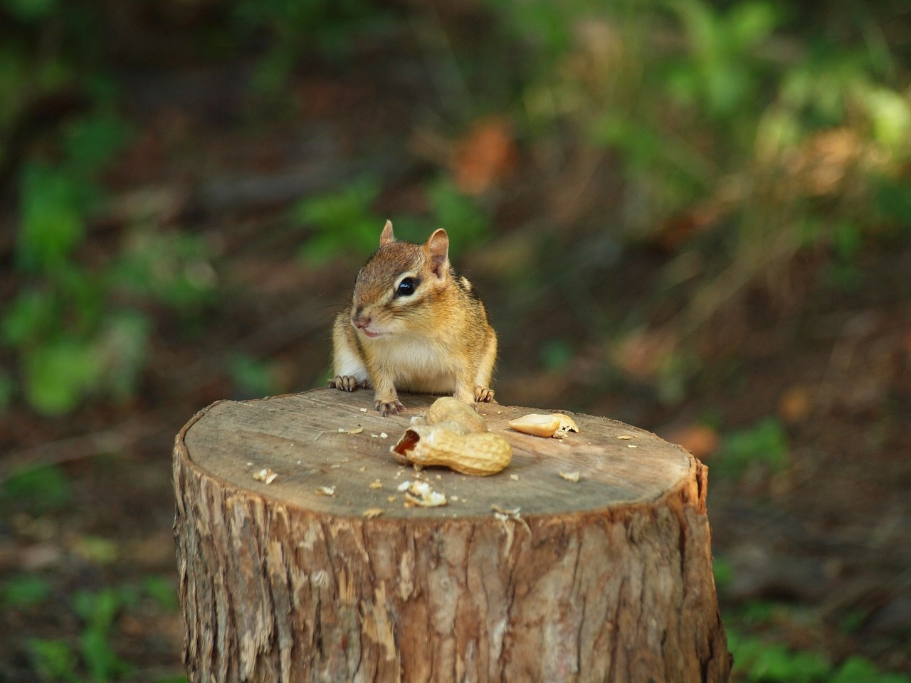 Siberian chipmunks in the Sonian Forest near Brussels