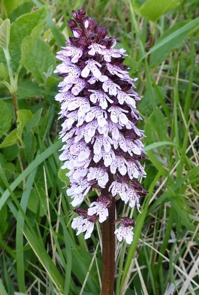 Look for orchids in May/June