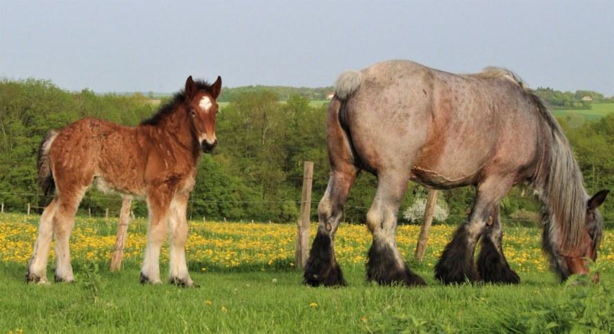 Foal of a Belgian draft horse
