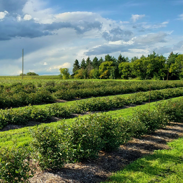 U-Pick Orchard - 795 Haskap Berry Farm