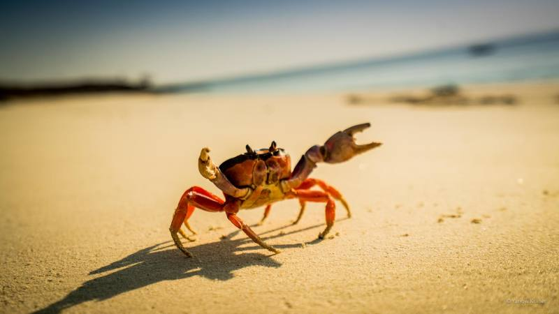 Image result for crabs stealing food on isla iguana panama