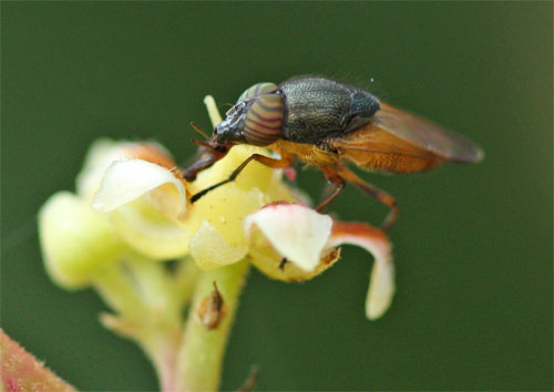 Fly pollinator