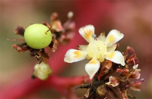Mango flower (right) and young freshly pollinated fruit forming (left).