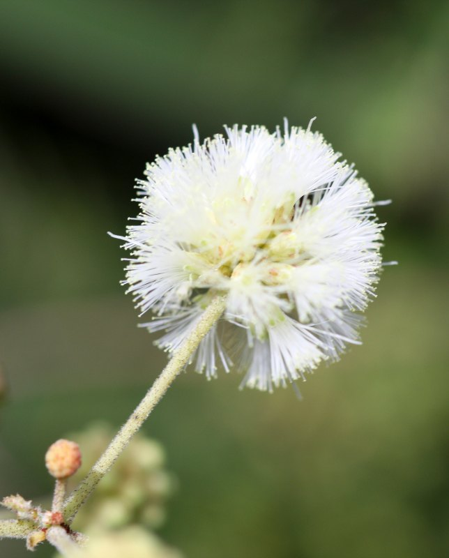 Acacia brevispica flower by D. J. Martins